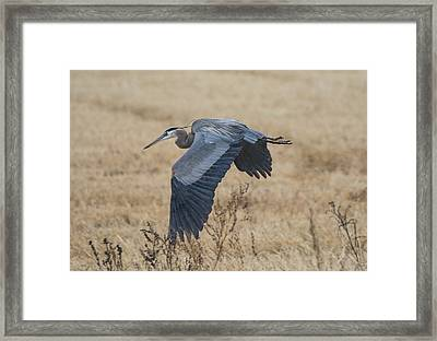 Great Blue Heron In The Rain Framed Print by Loree Johnson