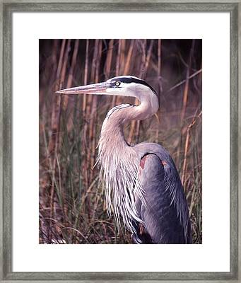Great Blue Heron Framed Print by Jack Cushman