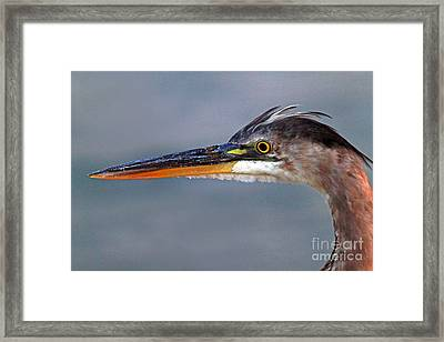 Great Blue Heron Framed Print by Jim Beckwith
