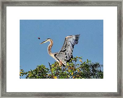 Great Blue Heron Framed Print by John Adams