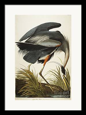 Heron Framed Prints