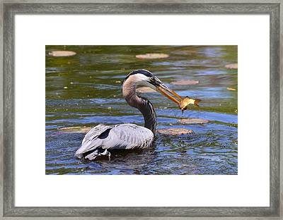 Great Blue Heron Framed Print