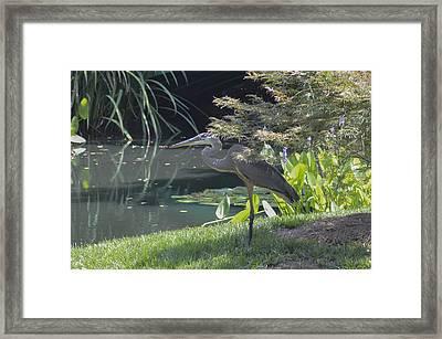 Great Blue Heron Framed Print by Linda Geiger