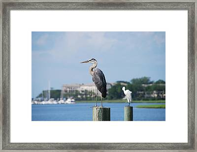 Great Blue Heron Framed Print by Margaret Palmer