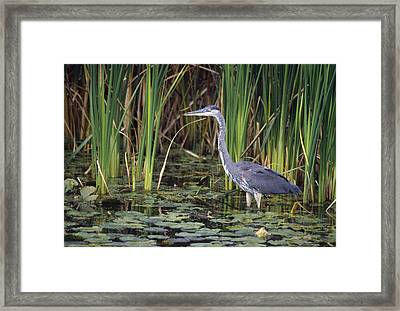 Great Blue Heron Framed Print by Natural Selection David Spier