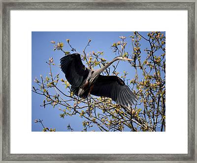 Great Blue Heron Nesting 13 Framed Print by Terry Elniski
