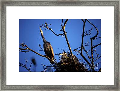 Framed Print featuring the photograph Great Blue Heron Nesting 2017 - 5 by Terry Elniski