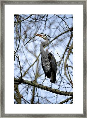 Framed Print featuring the photograph Great Blue Heron Nesting 2017 - 6 by Terry Elniski