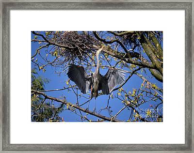 Great Blue Heron Nesting 5 Framed Print by Terry Elniski