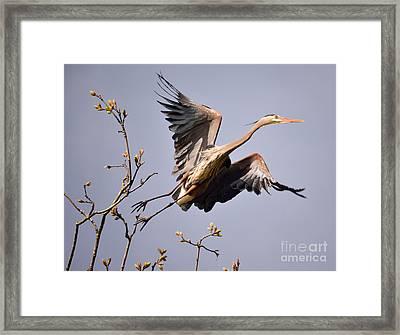 Great Blue Heron Nesting 6 Framed Print