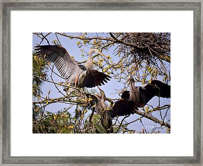 Great Blue Heron Nesting 8 Framed Print