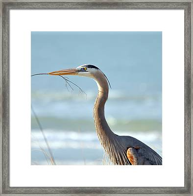 Great Blue Heron Nesting Framed Print