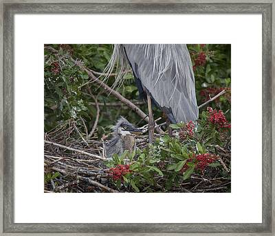 Great Blue Heron Nestling Framed Print
