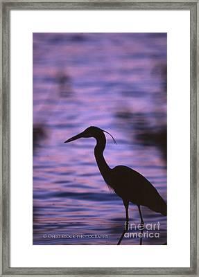 Great Blue Heron Photo Framed Print