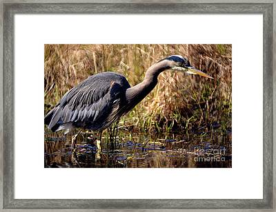 Framed Print featuring the photograph Great Blue Heron On The Hunt 1 by Terry Elniski