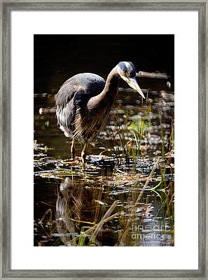 Framed Print featuring the photograph Great Blue Heron On The Hunt 2 by Terry Elniski