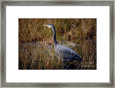 Framed Print featuring the photograph Great Blue Heron On The Hunt 3 by Terry Elniski