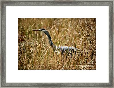 Framed Print featuring the photograph Great Blue Heron On The Hunt 4 by Terry Elniski