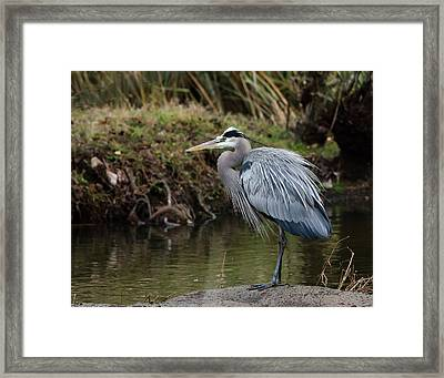 Framed Print featuring the photograph Great Blue Heron On The Watch by George Randy Bass
