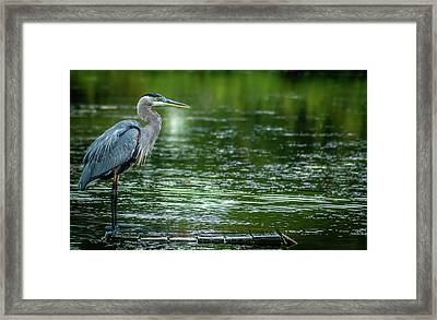 Great Blue Heron Framed Print by Optical Playground By MP Ray