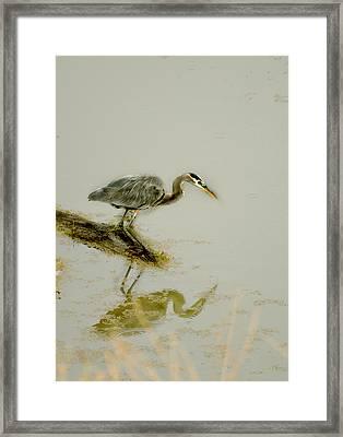 Great Blue Heron Framed Print by Pamela Patch