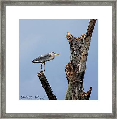 Framed Print featuring the photograph Great Blue Heron Perched by Barbara Bowen