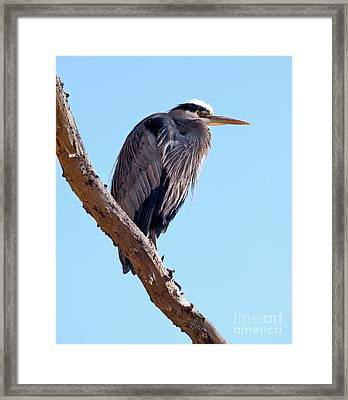 Great Blue Heron Perched On Tree Branch Framed Print by Terry Elniski