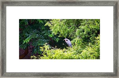 Great Blue Heron Framed Print by Peter Tellone
