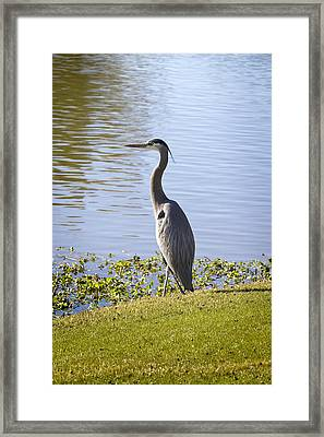 Framed Print featuring the photograph Great Blue Heron by Phyllis Denton