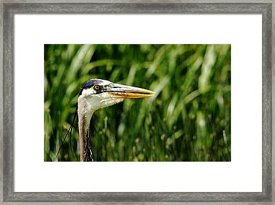 Framed Print featuring the photograph Great Blue Heron Portrait by Debbie Oppermann
