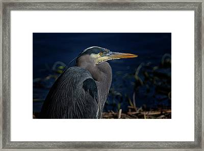 Framed Print featuring the photograph Great Blue Heron by Randy Hall