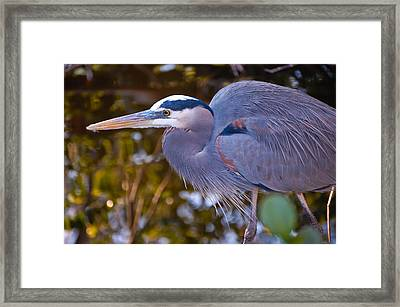 Great Blue Heron Framed Print by Rich Leighton