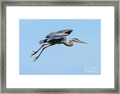 Framed Print featuring the photograph Great Blue Heron Rising by Susan Wiedmann