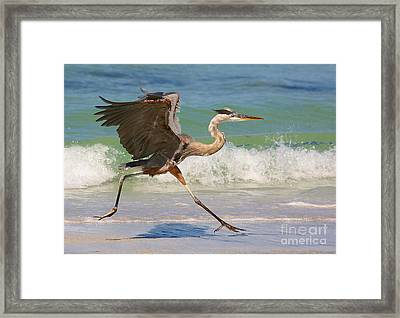 Great Blue Heron Running In The Surf Framed Print by Myrna Bradshaw