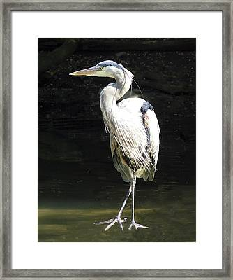 Great Blue Heron Standing Profile Framed Print