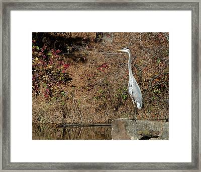 Framed Print featuring the photograph Great Blue Heron Standing Tall by George Randy Bass