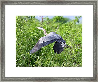 Framed Print featuring the photograph Great Blue Heron Takeoff by Barbara Bowen