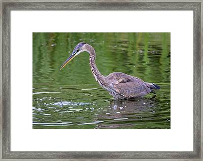 Framed Print featuring the photograph Great Blue Heron - The One That Got Away by Ricky L Jones