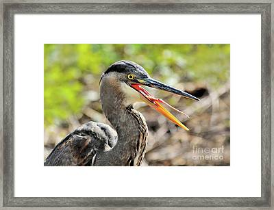 Great Blue Heron Tongue Framed Print