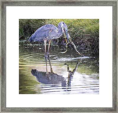 Great Blue Heron Vs Huge Frog Framed Print