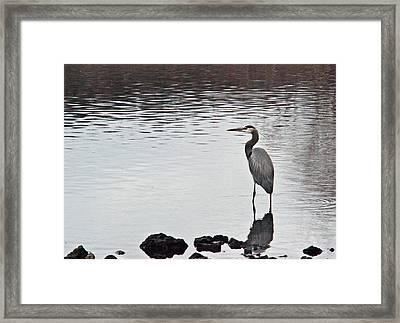 Great Blue Heron Wading 3 Framed Print by Douglas Barnett