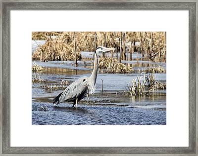 Great Blue Heron Wading  Framed Print