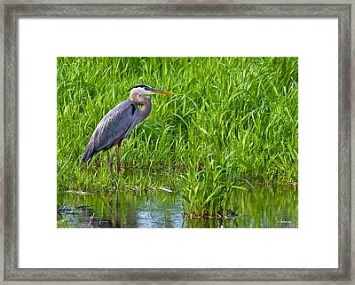 Great Blue Heron Waiting Framed Print
