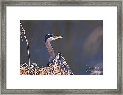 Framed Print featuring the photograph Great Blue Heron Waiting by Sharon Talson