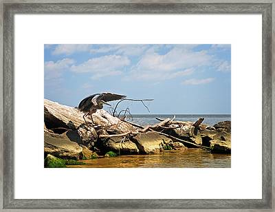 Great Blue Heron Wings Outstretched Framed Print