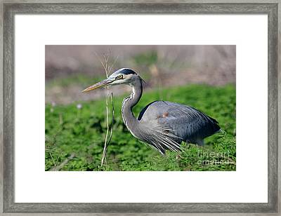 Great Blue Heron Framed Print by Wingsdomain Art and Photography