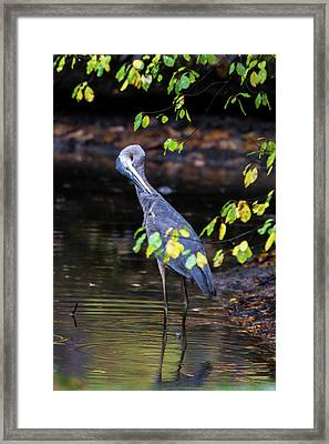 Great Blue Heron With An Itch Framed Print