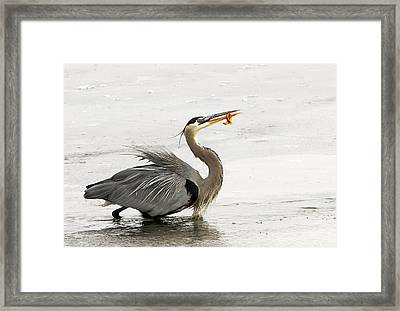 Great Blue Heron With Leech Framed Print by Dennis Hammer