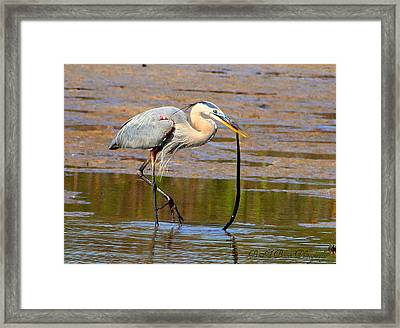Framed Print featuring the photograph Great Blue Heron Wrestles A Snake by Barbara Bowen