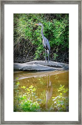 Great Blue Heron - Wye Mills Framed Print by Brian Wallace